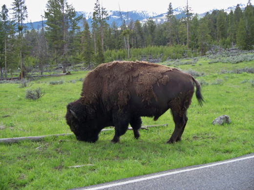 Buffalo in Yellowstone National Park