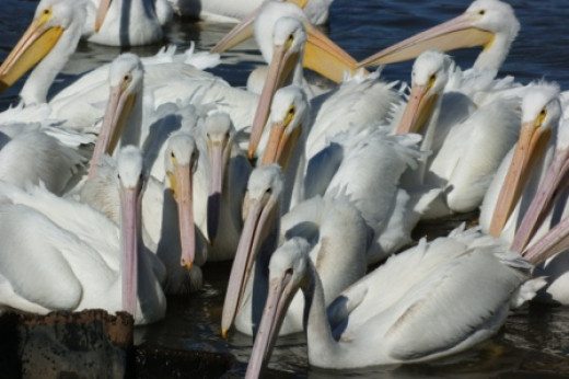 Pelicans in Lake Charles