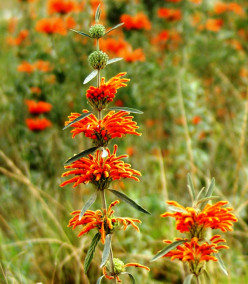 Wild Flowers of the Eastern Cape:no 1-Leonotis Leonurus (Wild Dagga)
