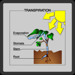 an experiment report water evaporation and plant transpiration The rate of evaporation is dependent on environmental factors like temperature, humidity, wind velocity, etc while the rate of transpiration is dependent on both environmental and plant factors, particularly the water retention capacity of the plant concerned.