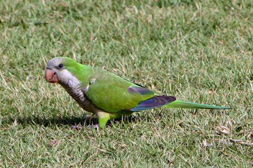 This Monk Parrot was photographed in San Juan by Ujorge on May 7, 2008.