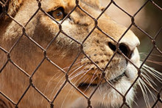 A lion in the zoo