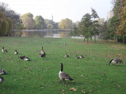 Geese near  Central  Lake, Regents Park, London