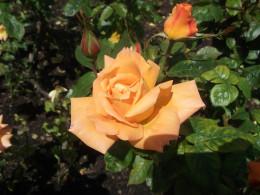 Roses in Queens Mary's Garden