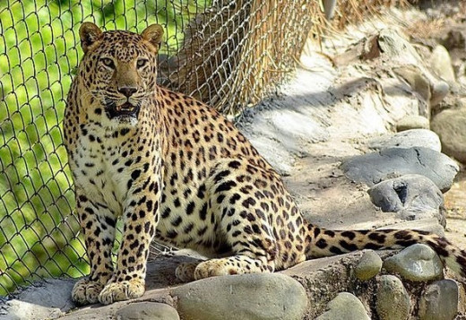 Mahendra Chaudhary Zoological Park, Chhatbir zoo  is  located at a distance of 17 km from Chandigarh . It is indeed a marvel to see how acres of raw scrubland have been transformed into a wonderful home for wild animals.