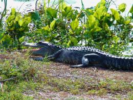 Americn Alligator.