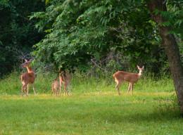 White-Tail Deer.