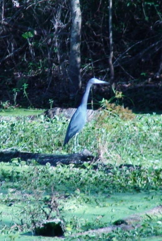Blue Heron's