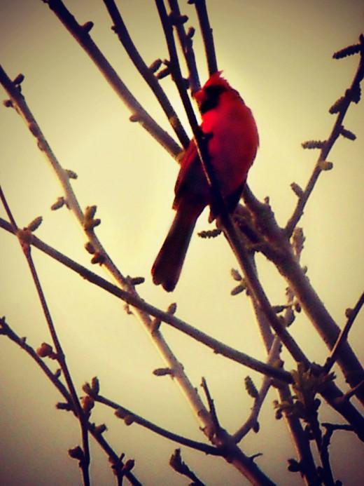 The singing Cardinal