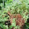 Ashwagandha: An Important Herb in Ayurvedic Medicine