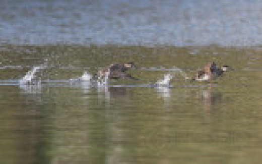 Ruddy Ducks Taking to the Air