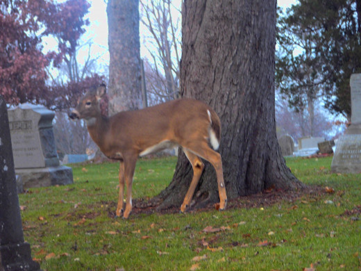 A young deer.  One of many.  This guy was really camera shy.  He hid behind a grave marker until I tricked him and moved my car a bit.