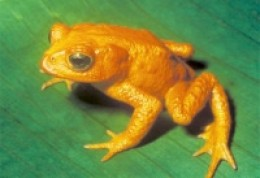 Extinct Golden Toad