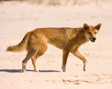 Dingo at Fraser Island