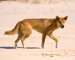 Canis Lupus Dingo on the Precipice of Extinction