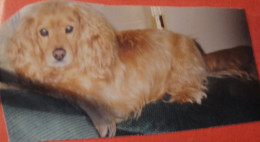 Corky, believed to be a Cocker Spaniel Mix.  We got Corky from the pound in Portales, New Mexico, in 1993.  Corky lived to 2006.
