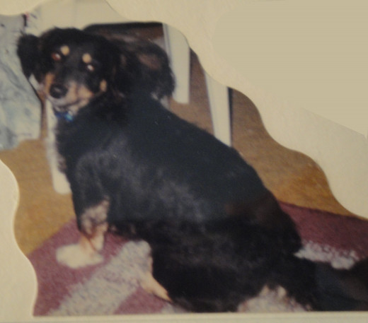 Lady; Dachshund Mix; adopted from Clovis, NM animal shelter in 1994. 1991-2006