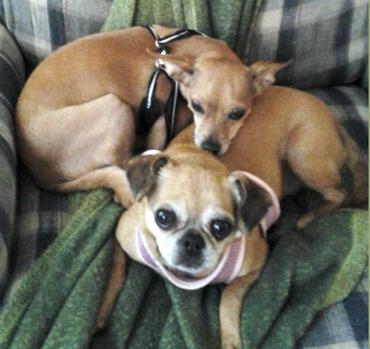 Daisy and Toby;  Daisy is a Pug-Chihuahua mix. She was given up by her original owner because the owner felt she was too ugly!