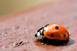 Fun Facts about Ladybugs