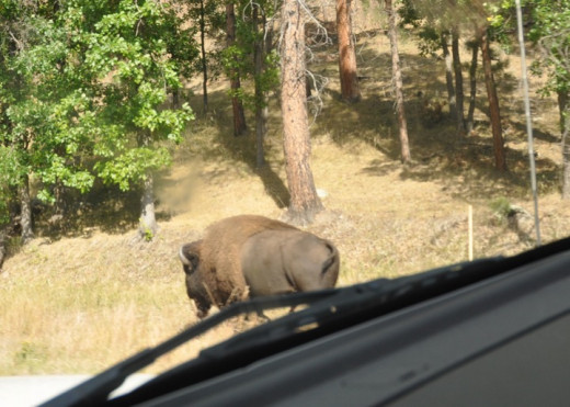 This Bison is Roaming....