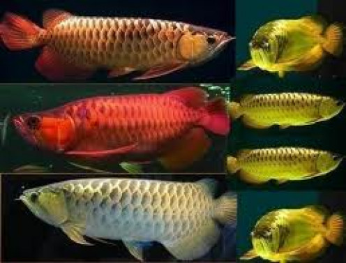 Arowana Care Tips For An Healthy Environment Hubpages