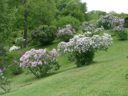 Royal Botanical Gardens' Lilac Dell in May