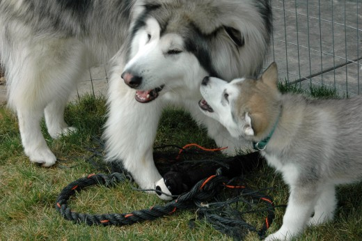 Even as puppies, dogs learn how to speak to each other and get their points across.