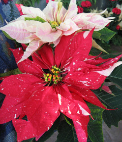 Christmas Plants: Poinsettia Christmas History & More!