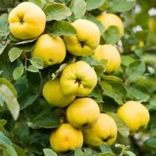 Quince fruits ripe and ready to be picked