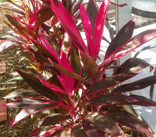 Hawaiian Ti Plant, also called Red Sister
