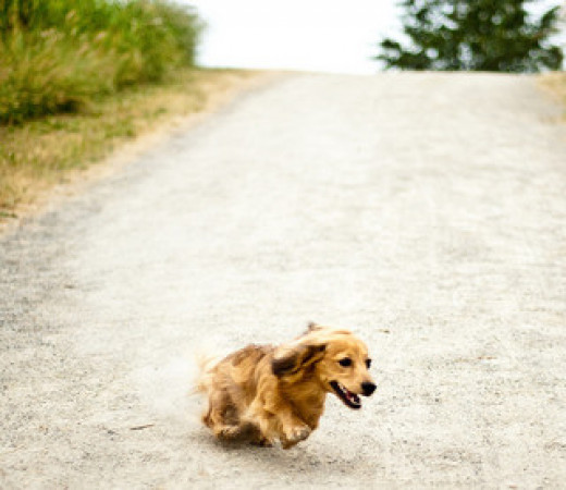 The speedy little see-saw run of the dachshund is sure to bring smiles.