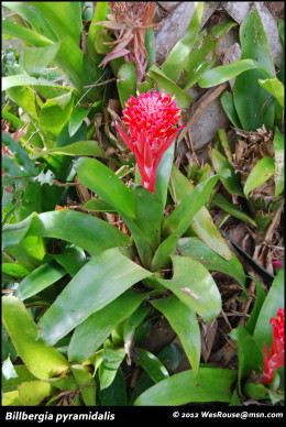 """Billbergia pyramidalis is a remarkable plant.  It is easy to culture, fast growing, """"climbs"""" right up a tree, and has one of the most beautiful inflorescences of all the bromeliads."""