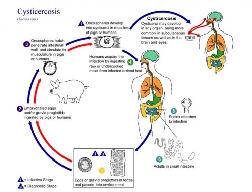 The Life Cycle of the Tapeworm