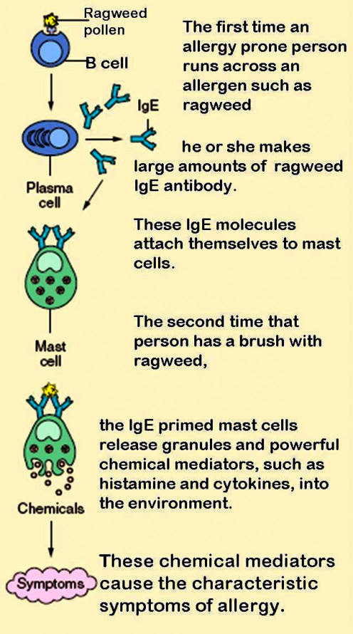 Mast Cells Involved in Allergies