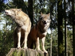 Let's Bring Back Wolves to the British Isles.
