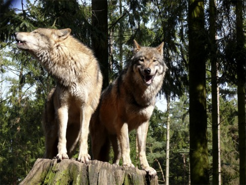The wolf and Native Americans both value family.