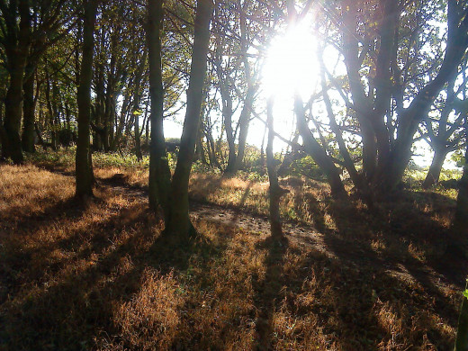 Sunlight filtered through Sherwood Forest small oaks.