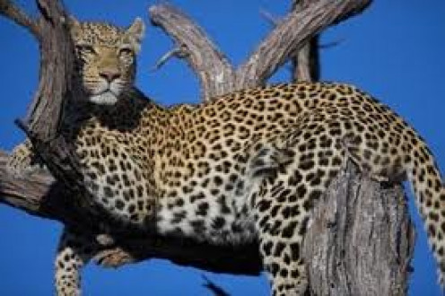 Leopards are among the most agile of the jungle cats and they can be very quite.