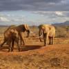 Elephant With a Heart - How Elephants Communicate and Use Language