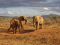 Elephant With a Heart - How Elephants Communicate and Use Language