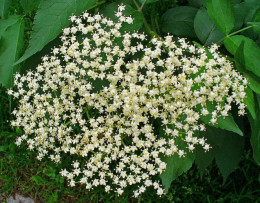 Sambucus nigra (elderberry) flowers.  The dried flowers can be used in a tea or they can be ingested to help clear sinus congestion.
