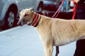 Greyhound Breed Information | Doggie Matchmaker