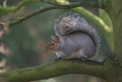 The North American Grey-Tree Squirrel