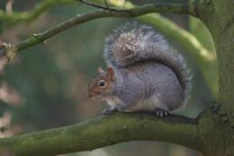 The North American Grey Squirrel In Britain