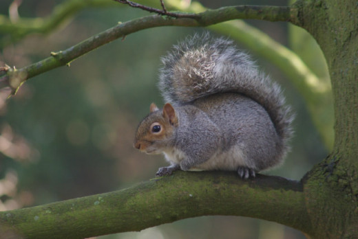 The North American Grey Squirrel In Britain
