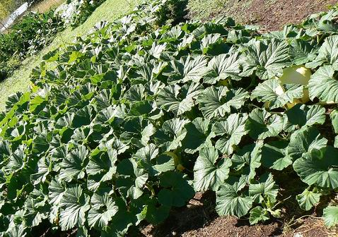 """This photo is indicative of the """"ground cover"""" value of pumpkins. They are happy to take over."""