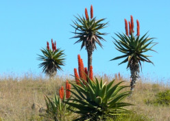 Flowers of the Eastern Cape: no 2 - Aloes