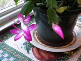 Flowers on a Christmas cactus.
