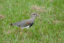 A Southern Lapwing bird walking in the grass near the Sheraton Hotel in Iguazu Falls National Park.