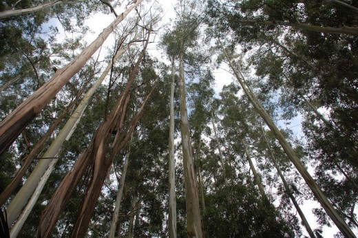 Eucalyptus trees in Kerela, India